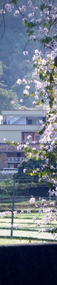 国道旁的宫粉紫荆