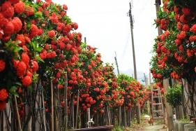 高清大图:马圩镇7000棵满堂春华丽盛放,每棵能卖300元以上了