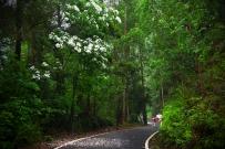 高清!漂落的梧桐花!德庆香山森林公园如此之美,这个周末不去可惜